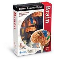 Learning Resources - Creierul uman macheta